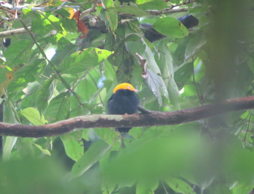 Long-term study of manakins in its 17th year